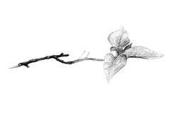 Twig. Looks like someone pulled it off Royalty Free Stock Images