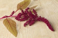 Twig with amaranth flowers Stock Photography