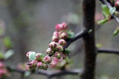 A twig of apple or plum blooming beautifully in spring or summer royalty free stock photography