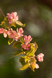 Twig apple tree blossoms in the sunshine Royalty Free Stock Photography