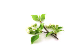 Twig of apple-tree with flowers Stock Images
