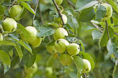 Twig of an apple tree with green fruits Stock Image