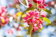 Twig of apple tree with pink blossoms close up Royalty Free Stock Images