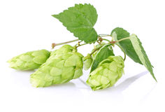 Twig aromatic hop with green leaf Stock Photography