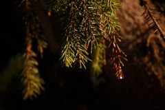 A twig ate in the rays of the setting sun. Sprig of green spruce in the rays of the setting sun Stock Image