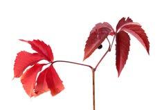 Twig of autumn grapes leaves. Parthenocissus quinquefolia foliag Stock Photo