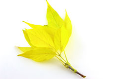 Twig with autumn leaves Royalty Free Stock Photography