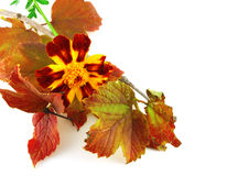 Twig with autumn leaves Stock Image