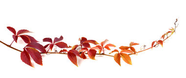 Twig of autumn multicolor grapes leaves Royalty Free Stock Photos