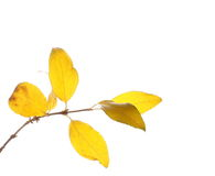 Twig of autumn yellow leaves, isolated on white Stock Photography