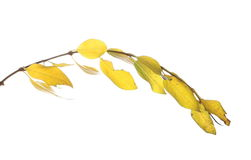 Twig of autumn yellow leaves, isolated on white Stock Photos
