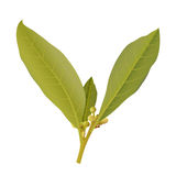 Twig of bay leaves Stock Image