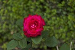 Twig of beauty fragrant velvety red rose, Vidin Stock Photography