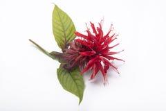Twig of Bergamo Royalty Free Stock Images