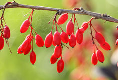 Twig and berries of barberry Stock Photography