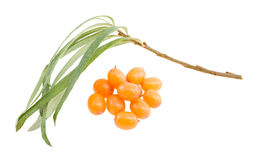 Twig and berries of sea buckthorn. Royalty Free Stock Image