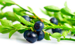 Twig of bilberry Stock Image