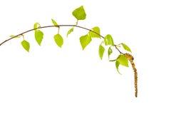 Twig birch Stock Photos