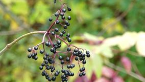 A twig with black berries in a picturesque park in autumn. A wonderful view of a twig with black berries in a picturesque park in autumn. It sways slowly under stock video