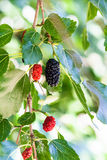 Twig with black and red berries on blackberry tree Royalty Free Stock Photography