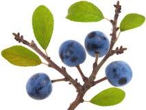 Twig of Blackthorn or sloe berries. Prunus spinosa Stock Photo