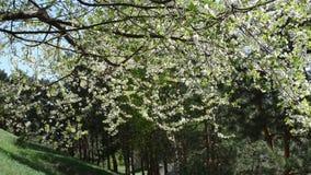 Twig bloom fruit tree. White apple cherry fruit tree twig branch blooms petal fall down in wind stock video footage