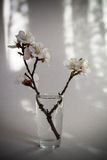 Twig in bloom in a glass vase.Morning sunlight Royalty Free Stock Image