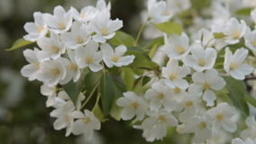 Twig of blooming apple tree. Close-up shot of apple tree twig in blossom. Branch with white flowers stock footage