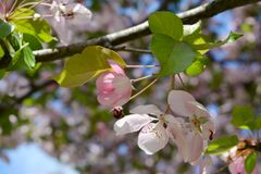 Twig of blooming apple tree with white and pink flowers and buds stock photos