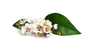 Twig blossoming apricot. Royalty Free Stock Photo