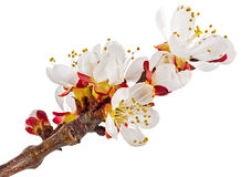 Twig blossoming apricot Stock Photography