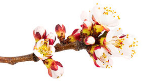 Twig blossoming apricot Stock Images