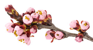 Twig blossoming apricot Royalty Free Stock Photography