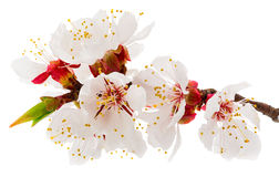 Twig blossoming apricot Royalty Free Stock Images