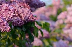 Lilac closeup Stock Images