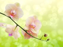 Twig blossoming orchids on a blurred background Stock Photos