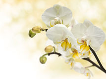 Twig blossoming orchids in bud royalty free stock photography