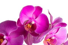 Twig blossoming orchids Royalty Free Stock Photos