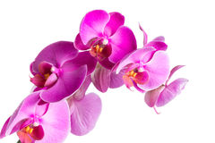 Twig blossoming orchids Stock Photo