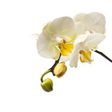 Twig blossoming orchids  on white background Royalty Free Stock Photo