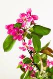 Twig with blossoming pink sakura. Royalty Free Stock Photo