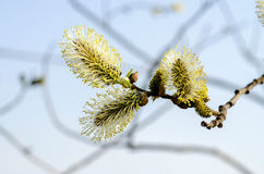 Twig blossoming willow. Spring morning Stock Image