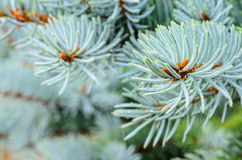 Twig of blue spruce Royalty Free Stock Photography
