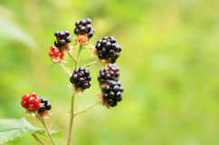 Twig of bramble with the ripe berries Royalty Free Stock Photo