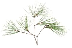 Twig branch of cypress with cones isolated on white. Background Stock Images