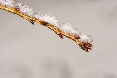 Twig with buds covered with snow Royalty Free Stock Photo