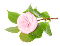 Twig of camelia royalty free stock photography