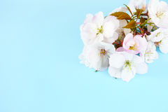 Twig of Cherry Blossom Flowers on Blue Background Royalty Free Stock Images