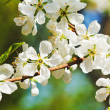 Twig of cherry blossoms close up Royalty Free Stock Photography