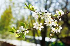Twig of cherry blossoms in fruit orchard Stock Photos